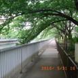 大横川・散歩道の桜並木(B)