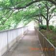 大横川散歩道・桜並木(C)