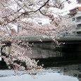 大横川散歩道の満開の桜