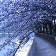 江東・大横川散歩道の桜並木(2011年)