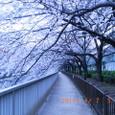 江東・大横川散歩道の桜並木(2011年4月)