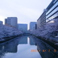 江東・大横川両岸の桜(早朝)