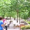 《鈴懸の径》の鈴懸の木(プラタナス)